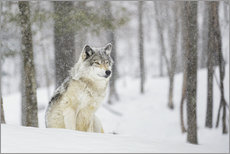 Selvklæbende plakat  philosophical wolf - Dominic Marcoux