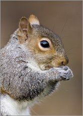 Galleritryk  Grey squirrel - John Devries