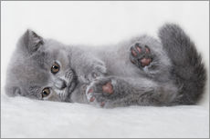 Galleritryk  British Shorthair killing 23 - Heidi Bollich