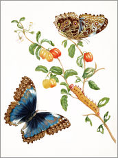 Selvklæbende plakat  Branch Of West Indian Cherry With Achilles Morpho Butterfly - Maria Sibylla Merian