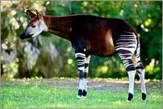 Galleritryk  Okapi, female - TUNS