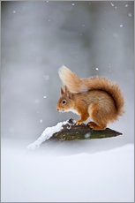 Galleritryk  Eurasian Red Squirrel standing on branch in snow - FLPA
