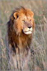 Galleritryk  Maasai lion in the prairie - FLPA