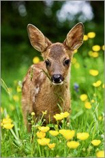 Selvklæbende plakat  Roe Deer fawn in flower meadow, Normandy - Gérard Lacz