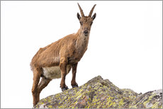 Selvklæbende plakat  Ibex perched on rock isolated on white background - Fabio Lamanna