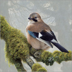 Galleritryk  Eurasian Jay sits on a mossy branch - Ikon Images