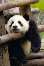 Galleritryk  Panda relaxes on a fence - Pete Oxford