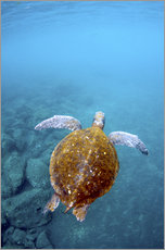 Galleritryk  Floating galapago turtle - Pete Oxford