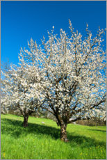 Premium-plakat Blossoming cherry trees on the field