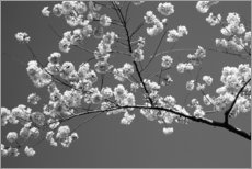 Print på træ  Cherry blossom in black and white