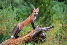Akrylbillede  Fox steals from a tree trunk