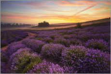 Akrylbillede  Lavender field in the morning - Rafal Kaniszewski