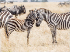 Akrylbillede  Adults and young zebras - Jaynes Gallery