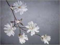 Akrylbillede  White magnolia blossoms - Jaynes Gallery