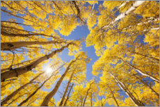 Selvklæbende plakat  Autumn-colored aspen forests of Colorado - The Wandering Soul