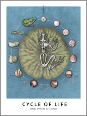 Akrylbillede  Cycle of life - Development of a frog - Wunderkammer Collection