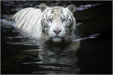 Akrylbillede  White Tiger - Renee Doyle