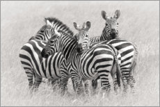 Akrylbillede  Group of zebras - Kirill Trubitsyn