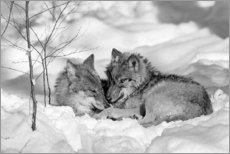 Akrylbillede  Wolves in winter - David & Micha Sheldon