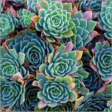 Galleritryk  Colorful succulents - David Wall