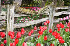 Selvklæbende plakat  Tulips in front of a wooden fence - Jamie & Judy Wild