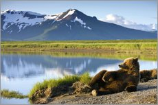 Galleritryk  Brown bear relaxes at the lake - Paul Souders