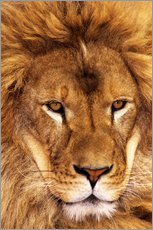 Galleritryk  Portrait of an African lion - Dave Welling