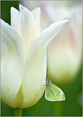 Galleritryk  Butterfly on a white tulip - Nancy Rotenberg