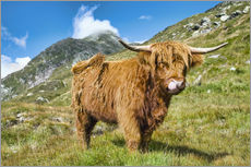 Selvklæbende plakat  Scottish Highland Cattle - Olaf Protze