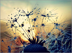 Galleritryk  Dandelion in the sunset - Julia Delgado