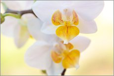 Selvklæbende plakat  White orchids against soft yellow background - Julia Delgado