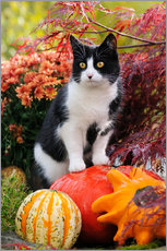 Selvklæbende plakat  Tuxedo cat on colourful pumkins in a garden - Katho Menden