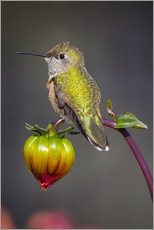 Galleritryk  Hummingbird sits on flower bud - Fred Lord