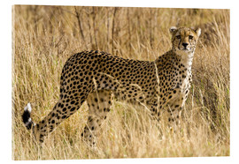 Akrylbillede  Cheetah in the dry grass - Ralph H. Bendjebar