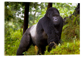 Akrylbillede  Mountain gorilla on a foray - Ralph H. Bendjebar