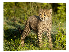 Akrylbillede  Little cheetah in the green - Ralph H. Bendjebar