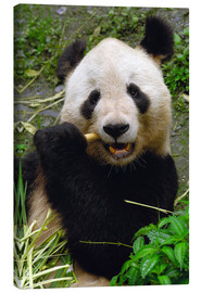 Lærredsbillede  Panda is chewing on bamboo - Pete Oxford