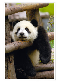 Premium-plakat  Panda relaxes on a fence - Pete Oxford