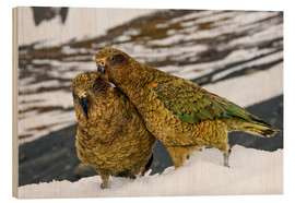 Print på træ  Two young keas in the snow - Fredrik Norrsell