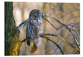 Print på aluminium  Great gray owl on a branch - Gilles Delisle