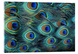 Akrylbillede  Iridescent feathers of a peacock - Adam Jones