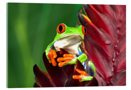 Akrylbillede  Red-eyed tree frog on leaf - Adam Jones