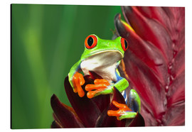 Print på aluminium  Red-eyed tree frog on leaf - Adam Jones