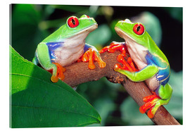 Akrylbillede  Two red-eyed tree frogs - David Northcott