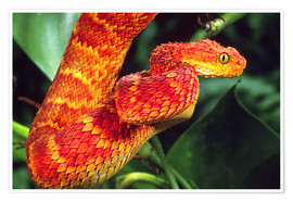 Premium-plakat Red bush viper on tree