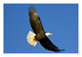 Premium-plakat  Bald eagle in flight - David Northcott