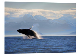 Akrylbillede  Humpback whale jumps out of water - Paul Souders
