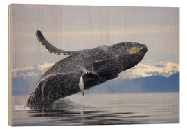 Print på træ  Humpback whale in Frederick Sound - Paul Souders