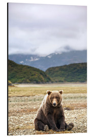 Print på aluminium  Grizzly Bear is resting in front of Kinak Bay - Paul Souders