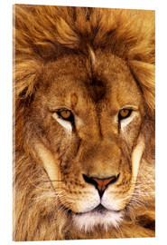 Akrylbillede  Portrait of an African lion - Dave Welling